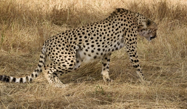 Cheetah – male