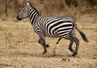 Uncommon Zebra : 5 legs