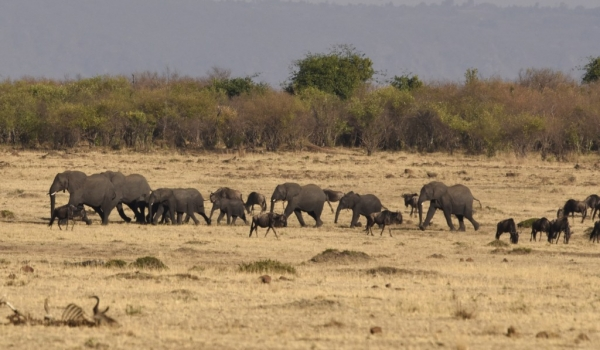 Elephants crossing the plain