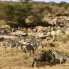 Zebras with Wildebeests