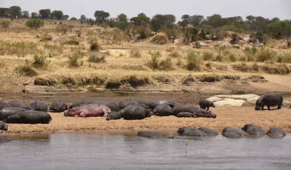 Big, fat, lazy hippos