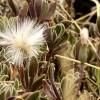 Asteraceae Kleinia – seed head