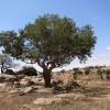 Fig Tree growing in rocks