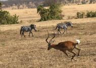 Impala frightened