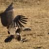 White-backed Vulture landing