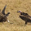Lappet/white backed Vultures