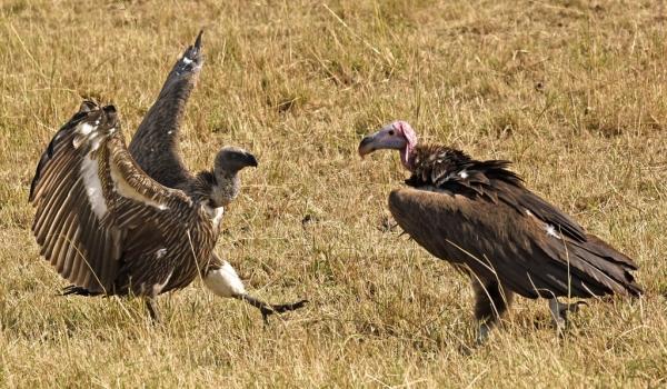 Lappet/white backed Vultures