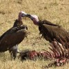 Lappet-faced Vulture kissing