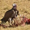 Lappet-faced Vulture full up