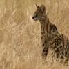 Serval – my favorite cat