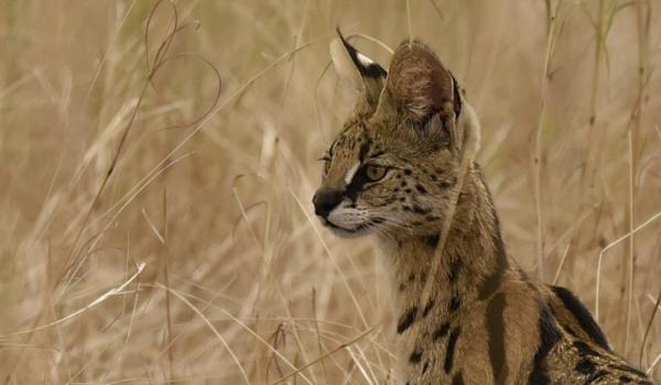 North Tanzania – Serval