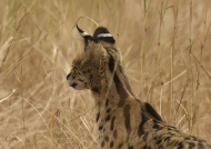 Serval – no one has such ears