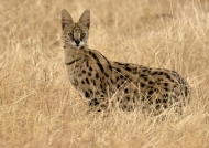 Majestic Serval