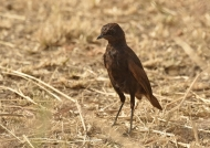 Sooty Chat – female