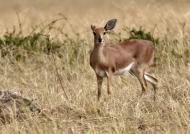 Steenbok – female