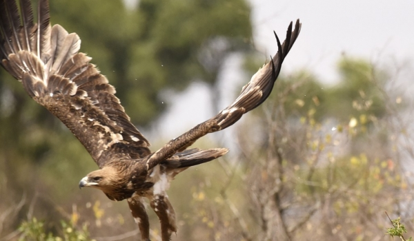 Tawny Eagle leaving the place