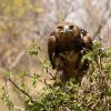 Tawny Eagle concentrated…