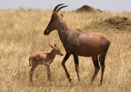 Topi with calf