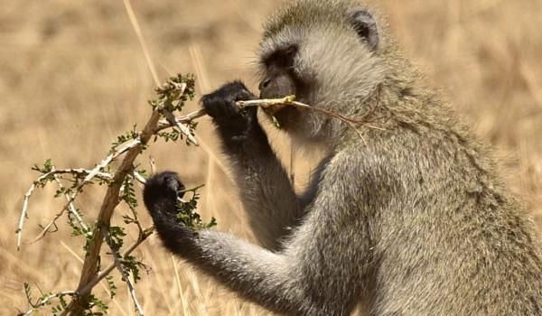 Vervet Monkey eating leaves