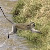 Vervet Monkey jumping