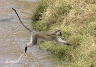 Vervet Monkey jumping