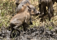 Piglet in the mud