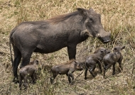 Warthog and 4 piglets