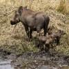 Warthog with piglets