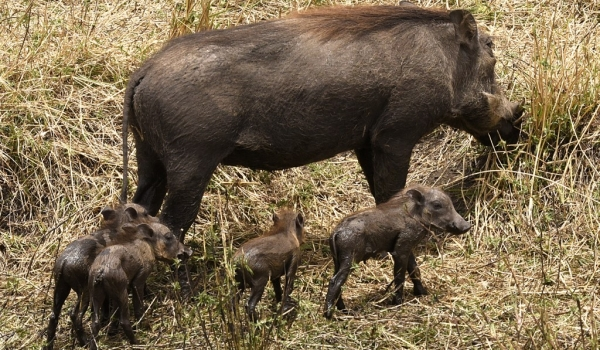Warthog with his piglets