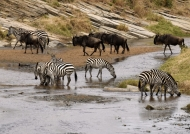 Common Zebras-Wildebeests
