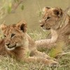 Lion cubs around 7 months