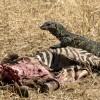 Nile Monitor Lizard & Zebra