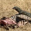 Nile Monitor Lizard & Zebra