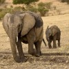 Elephant walking with baby
