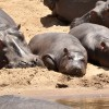 Cool baby Hippos…