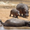 Hippos strolling on the shore