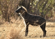Hyena in a ribbon of light