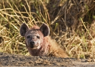 Spotted Hyena hiding