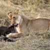 Lion with a Wildebeest calf