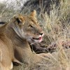 Lion eating a prey