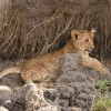 Lion cub – just awaking