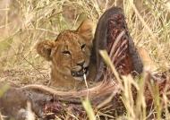 Lion cub hidden in a carcass