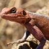 Flat-headed Rock Agama – m.