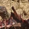 Nile Monitor Lizard