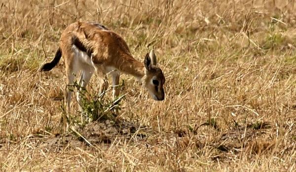 Thomson's Gazelle – calf