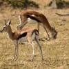 Thomson's Gazelle with calf