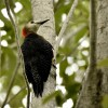 Jamaican Woodpecker-endem.