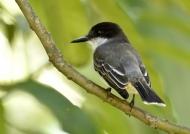 Loggerhead Kingbird-endemic