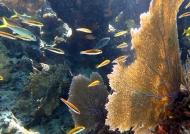 Common sea fans
