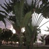 Traveller's Palm Tree